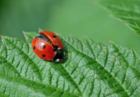beneficial insect: Ladybug with wings partially open Stock Photo