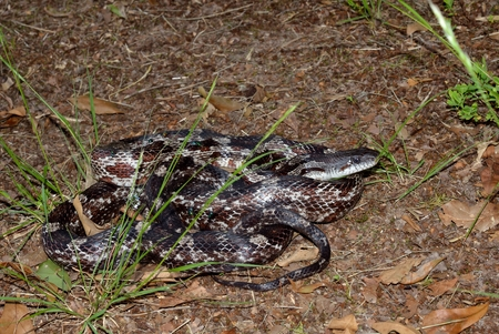 herpetology: Rattle snake in natural wild outdoor setting