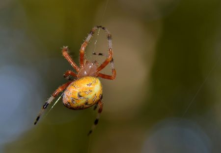 silk thread: Colorful yellow spider crawling on its silk thread Stock Photo