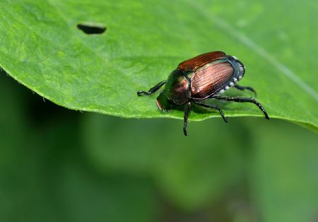 munching: Japanese beetle eating a leaf Stock Photo