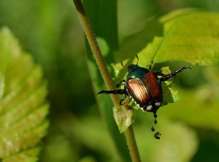 munching: Japanese beetle defacating Stock Photo