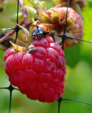 beneficial insect: Ladybug sitting on bright red fresh raspberry Stock Photo