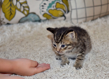 child's: Young adorable blue eyed kitten.  Young childs hand reaching out to a pet kitty cat. Stock Photo