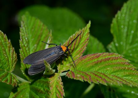 the antennae: Black shiny wings and orange necked moth.  Beautiful Unique shaped antennae.  Insect resting on leaf in outdoor setting.
