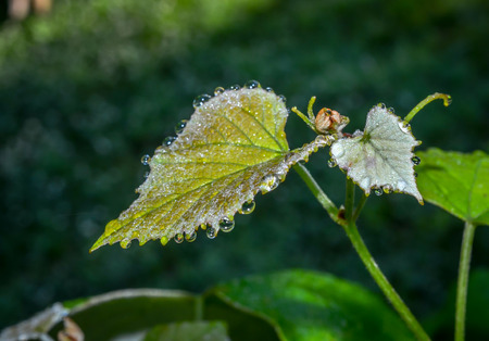 reflective: Sparkle and glitter on early morning dew drops, reflecting on organic fresh grape leaves.