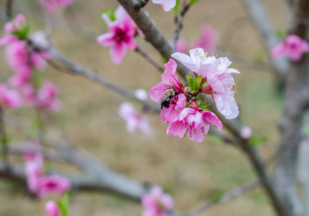 Fruit tree blossom in full bloom with a bumble bee pollinating the blooming flower.