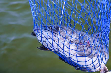 fishermans net: Catfish caught in fishermans fishing net.
