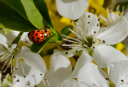 copulate: Ladybugs mating in nature with beautiful flowering blossom