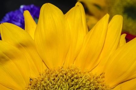 Sonnenblumenblumenblätter, vibrierendes buntes hohes nahes Bild für abstrakten Blumenhintergrund. Standard-Bild - 88882974
