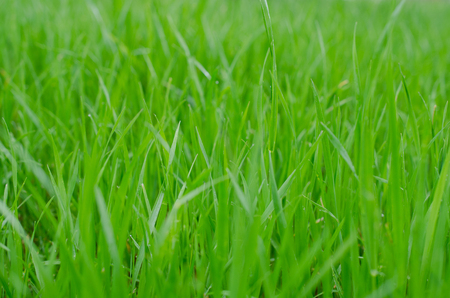 Fresh minty green grass. Excellent background for springtime theme holiday or event. Standard-Bild - 93621463