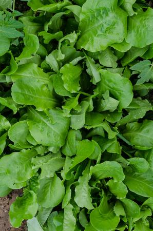 Homegrown leaf lettuce in the vegetable garden. Fresh organic nutritious lettuce. Standard-Bild - 95325490