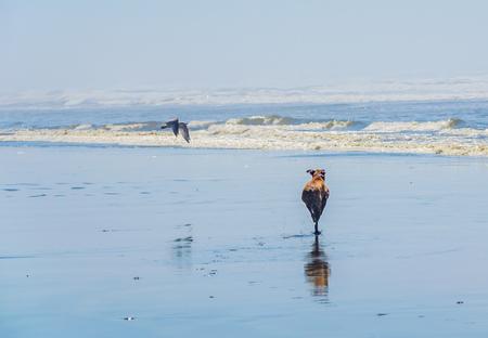 Pet Boxer dog running towards ocean beach waves. Coast seagull flying freely along beach shoreline. Ocean beach scene of fun and beauty. Standard-Bild - 95970276