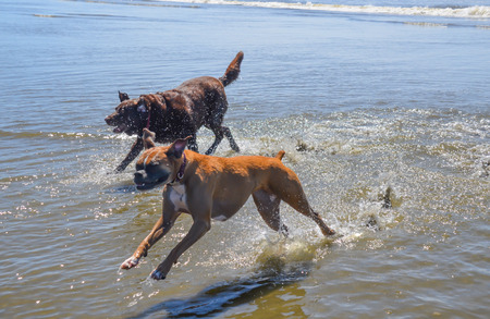 Chocolate Lab and Boxer running and playing in ocean beach water.  Pet dogs enjoying outdoor ocean park shoreline.