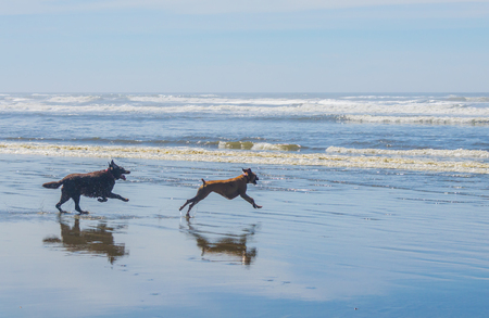 Chocolate Labrador Retriever and Boxer running and playing in ocean beach water shoreline. Standard-Bild - 96120990