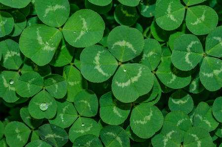 Springtime fresh clover with dew drops. Celebrate Spring Holiday, Easter and St. Patrick Day with this beautiful natural background. Standard-Bild - 97015948