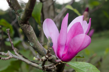 Tulip tree with beautiful pink blossom petals opening. Springtime floral scene.