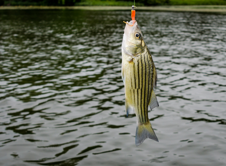 Striped bass caught on fisherman's fishing line. Fun and recreation of sport fishing on freshwater lake.