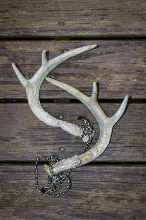 Whitetail deer antlers used for rattling horns. Fun recreational outdoor sport activity of deer hunting. Stock Photo
