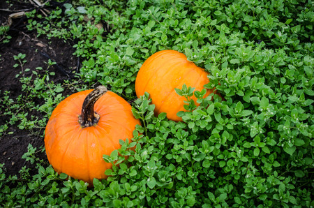 Pumpkins in pumpkin patch. Celebrate Autumn Fall Holiday Halloween, Thanksgiving and Fall Harvest with decorative vivid bright orange pumpkins.