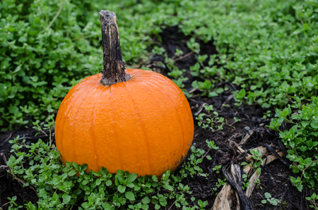Pumpkin in outdoor setting. Celebrate festive Autumn Fall Holidays including Halloween and Thanksgiving or Autumn Harvest celebration. Decoration or Food for Holidays Stock Photo