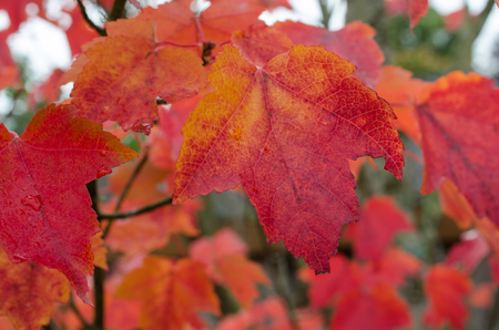 Beautiful vibrant red and orange autumn leaves.  Celebrate autumn fall celebration with colorful seasonal background.