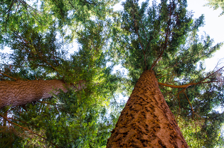 Mature fir trees, view from base of tree looking up. Conceptual image of natures beauty, hiking, camping and exploring.