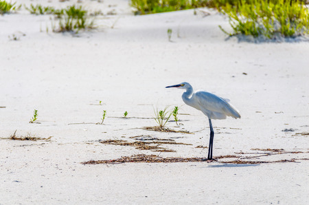Egret on tropical white ocean beach sands. Scenic tourist destination location of Florida tropical beaches. Wildlife animal on white sandy beach. Stock Photo