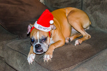 Funny Christmas Dog wearing red Bah Humbug hat. Cute humorous festive pet image to celebrate Christmas Holiday season. Standard-Bild - 114070585