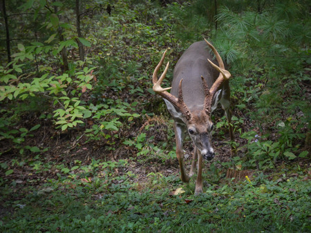 Whitetail deer buck with large antlers in outdoor woods.  Trophy buck with large rack walking through the forest. Stock Photo