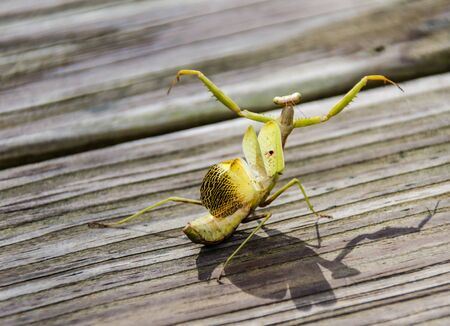 Praying Mantis in aggressive attack mode with wings extended and arms raised.