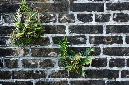Black brick wall with fern, excellent rustic abstract background or backdrop with plants growing into the brick wall. Beautiful vintage brick wall, built years ago. Cracked and aged surface of textured brick wall with plants