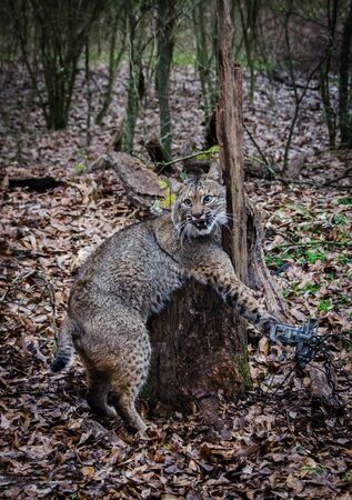 Bobcat feline caught by trapper in live trap.  Wildlife predator trapped in foothold trap. Management and recreational sport activity of animal hunting and trapping. Predator control of wildlife, helping turkey and deer population. Reklamní fotografie