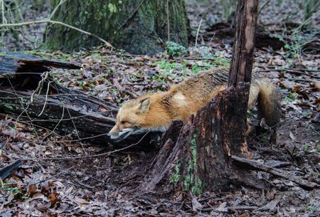 Red fox canine caught by trapper in live trap. Wildlife trapped in foothold trap. Management and recreational sport activity of animal hunting and trapping. Reklamní fotografie