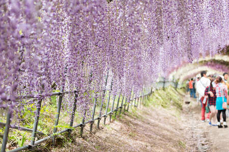 fantastical: Wisteria tunnel the fantastical world full of Wisteria flowers