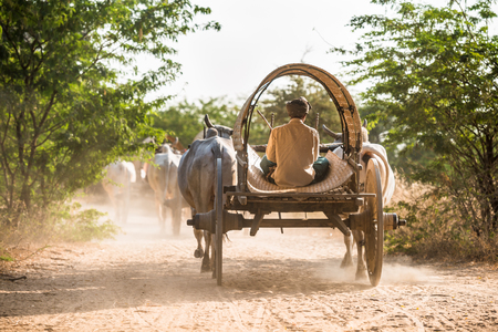 cart road: Burmese rural transportation with two white oxen pulling wooden cart on dusty road at Bagan, Myanmar (Burma).