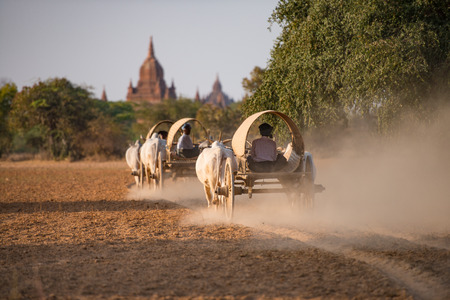 oxen: Burmese rural transportation with two white oxen pulling wooden cart on dusty road at Bagan, Myanmar (Burma).