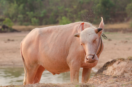 rare animal: Portrait of rare white Asia water buffalo, albino carabao