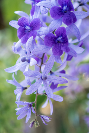 Purple Wreath, Sanpaper Vine, Queen's Wreath flower, Petrea racemosa (Scientific name Petrea volubilis L.) Foto de archivo