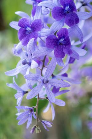 Purple Wreath, Sanpaper Vine, Queen's Wreath flower, Petrea racemosa (Scientific name Petrea volubilis L.) 版權商用圖片