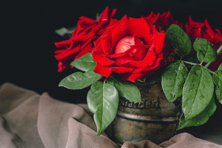 Red rose in a pot with black background.