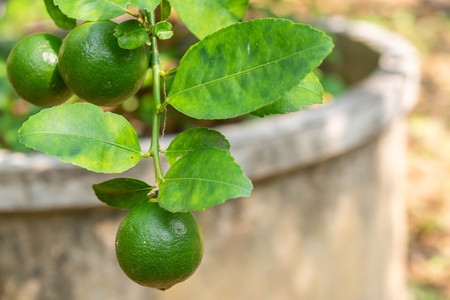 Close up organics green limes with leaves ready to be harvested on tree