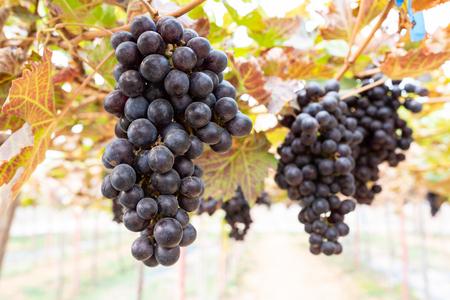 Ripe grapes on old vine, lush green leaves in vineyard Archivio Fotografico