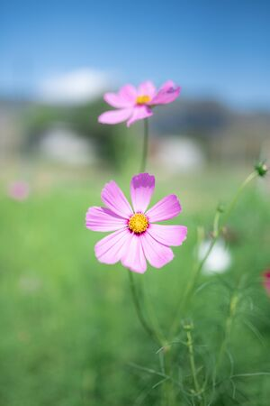 Pink cosmos in green field with blue sky Archivio Fotografico
