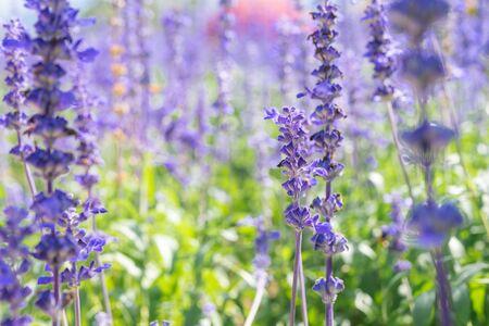 Blue salvia flowers blooming in green field