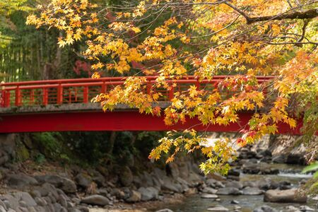 Colorful maple leaves autumn with red wodden  bridge background over small stream