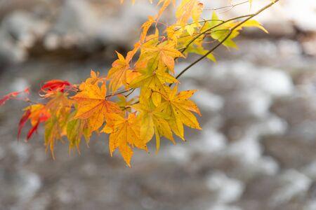 Colorful maple leaves autumn season on blurred background Archivio Fotografico