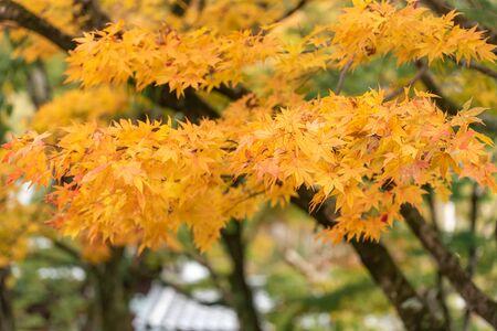 Colorful maple leaves autumn season on nature background Archivio Fotografico