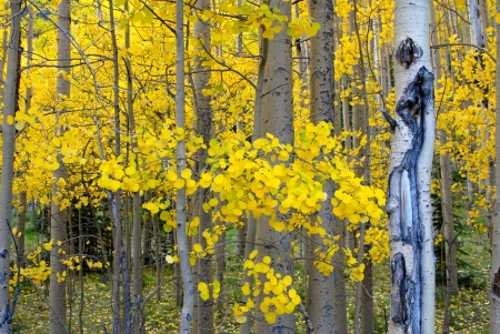 aspen trees Stock Photo - 15324044