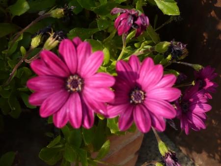 Pink pair of flowers 版權商用圖片