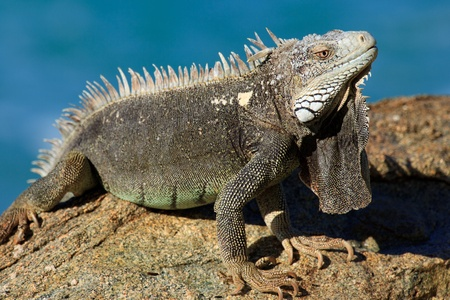 aruba: Adult Lizard sunbathing on the rocks in Aruba Stock Photo
